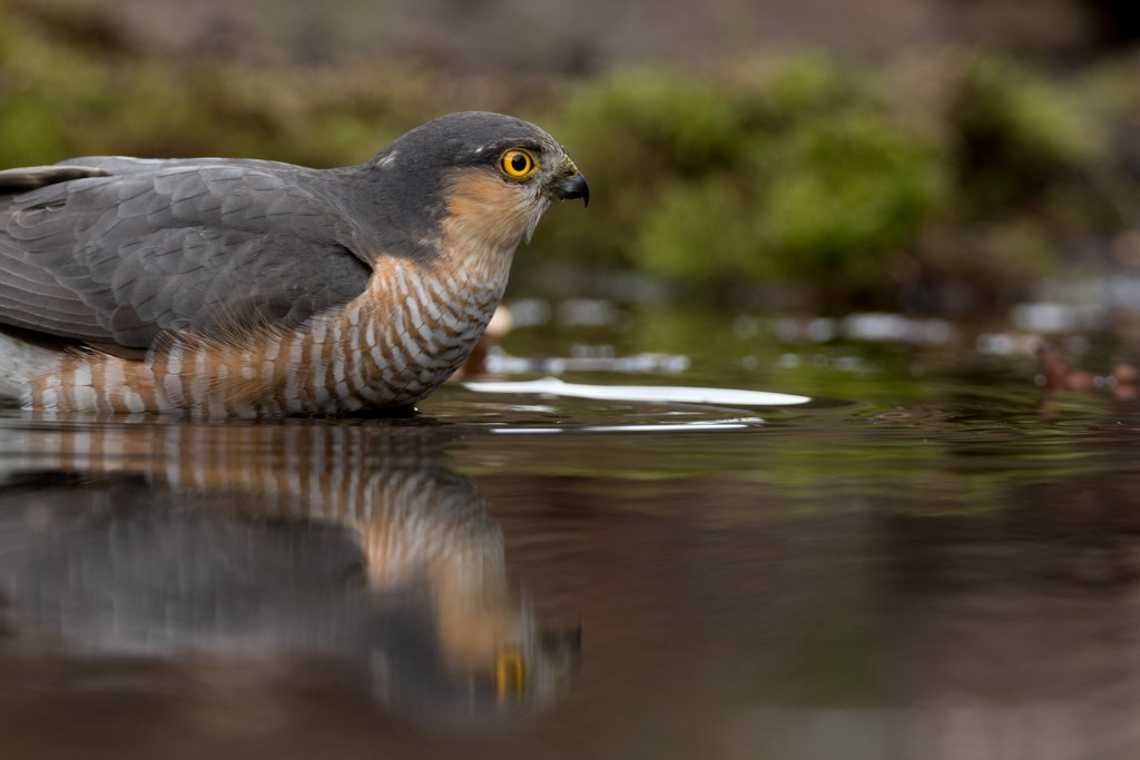 Bathing Sparrowhawk by leonbuys83