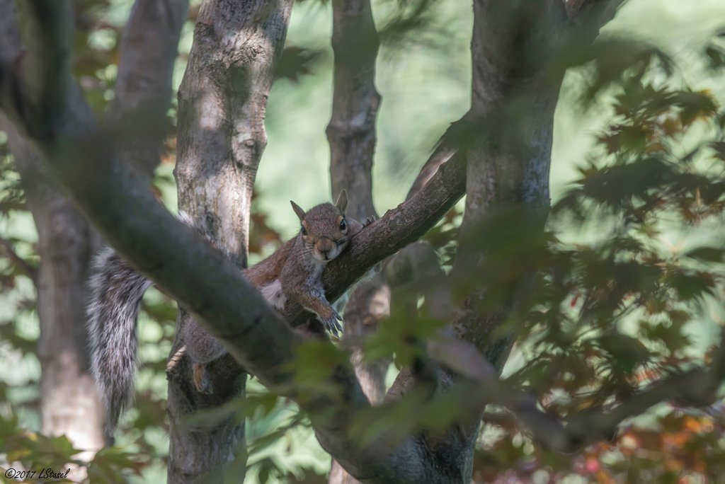 Mama Squirrel 2 by lstasel