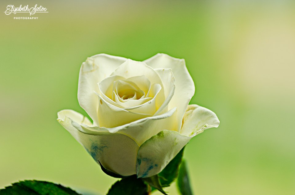 White rose by elisasaeter