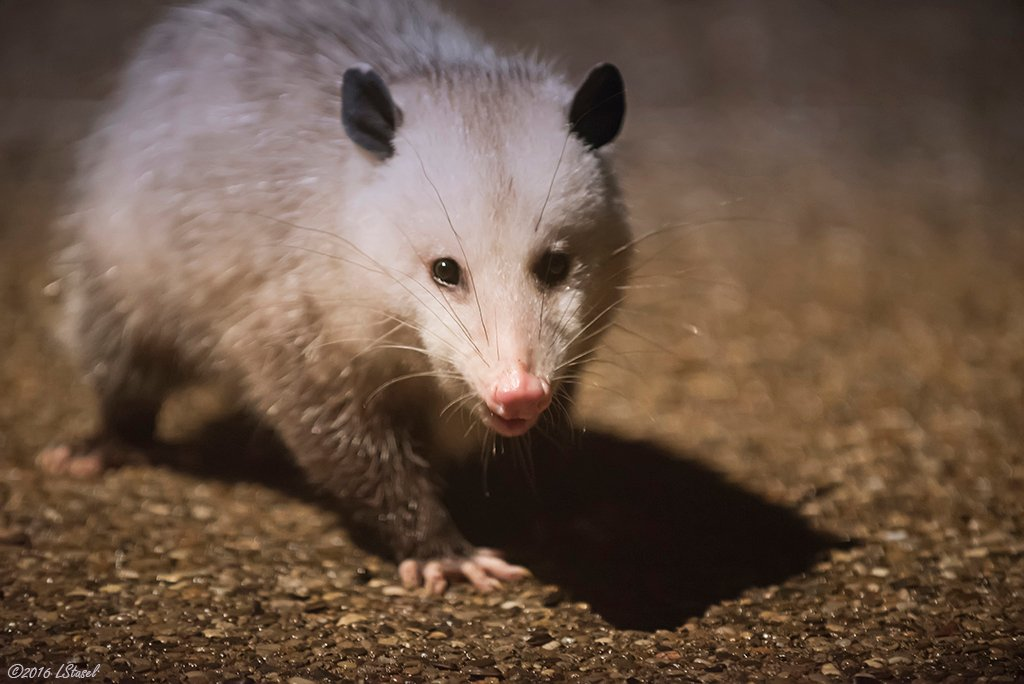 Possum by lstasel