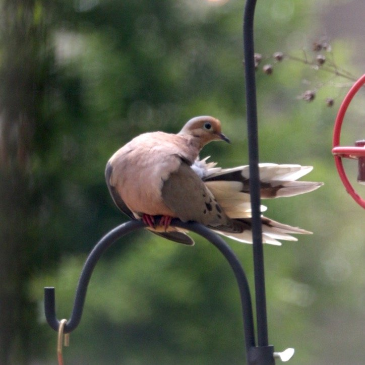 Mourning Dove on Windy Day by jnorthington