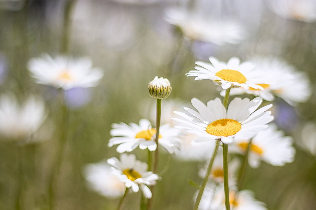 daisies by aecasey