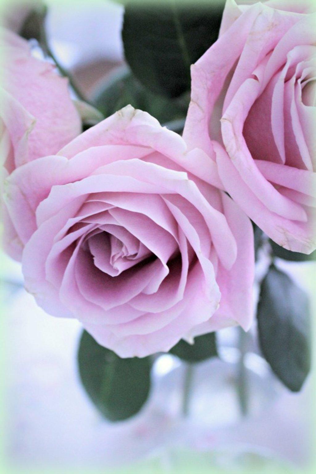 Pink Rose Again by deborahsimmerman