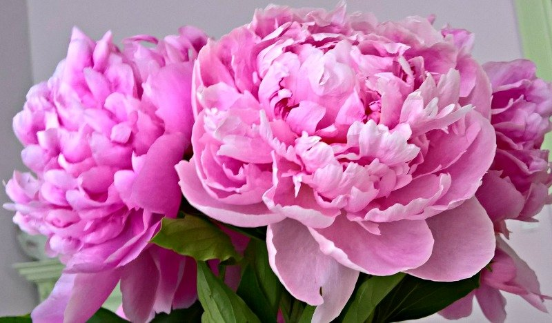 Peonies from the Farmers Market by deborahsimmerman