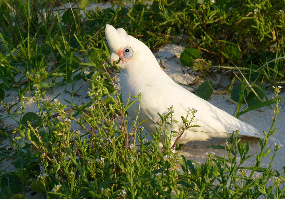 Little Corella - Here Comes the Sun by onewing
