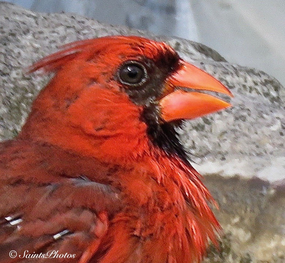 Male Cardinal by stcyr1up