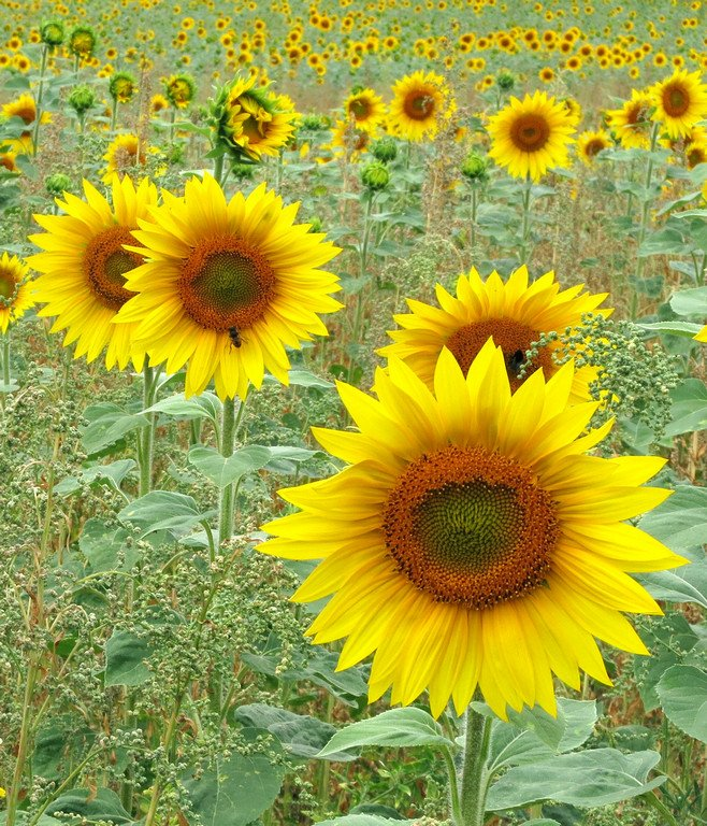 170711 - Sunflower field by bob65