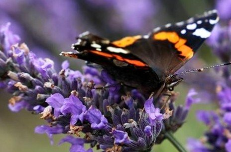 Butterfly on Lavender by phil_sandford