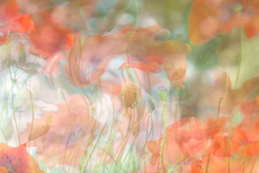 Dancing Poppies by helenhall
