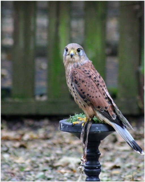 Kestrels are such beautiful birds.  The centre works with local vets and is a rescue and rehabilitation centre. by lyndamcg