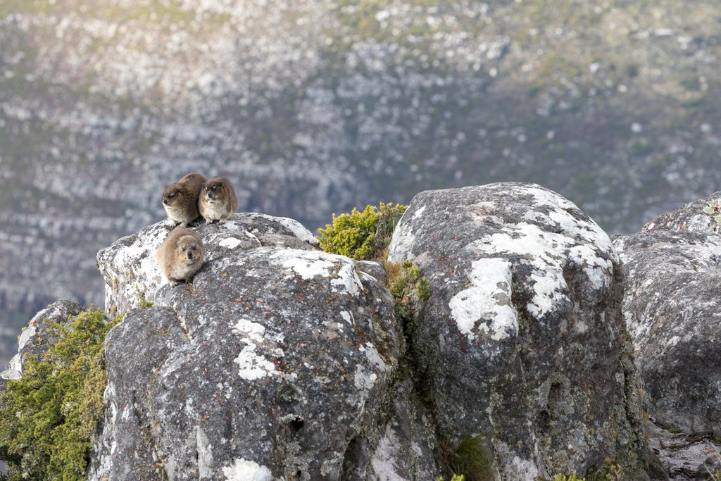 Dassies on Table Mountain by leonbuys83