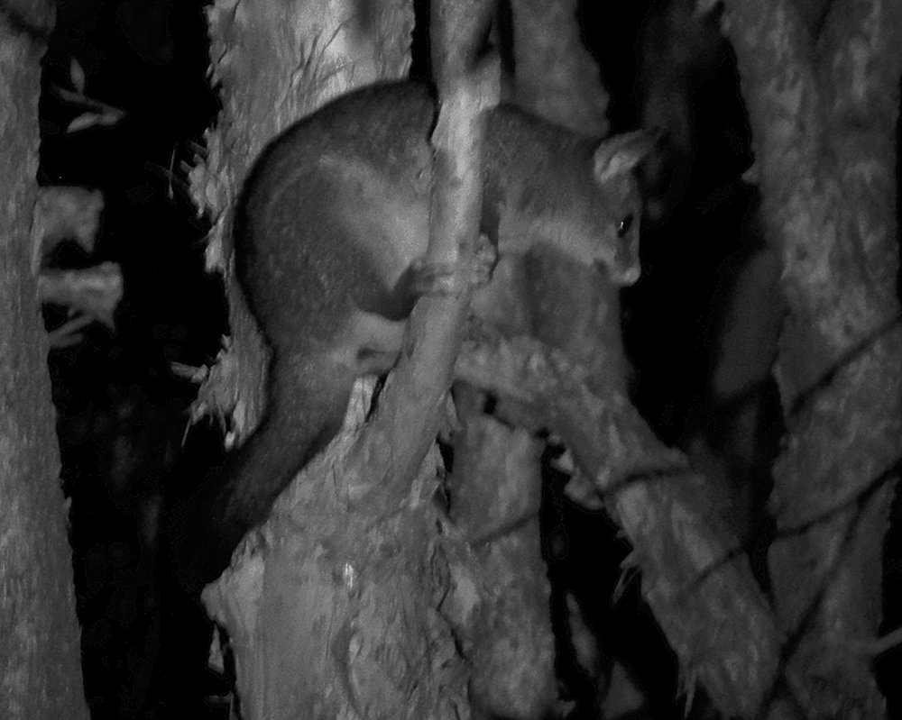 Brush Tailed Possum  by onewing