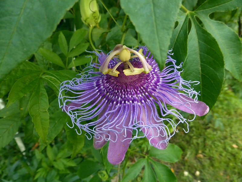 Passionflower by mimiducky