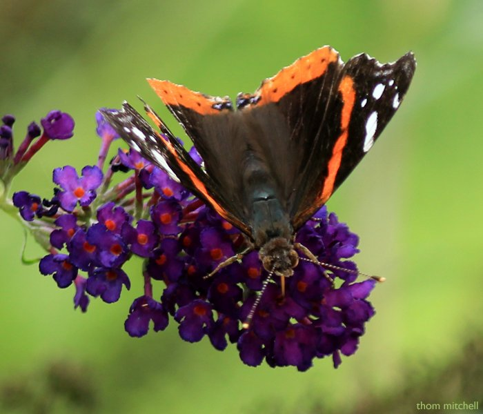 Red Admiral by rhoing