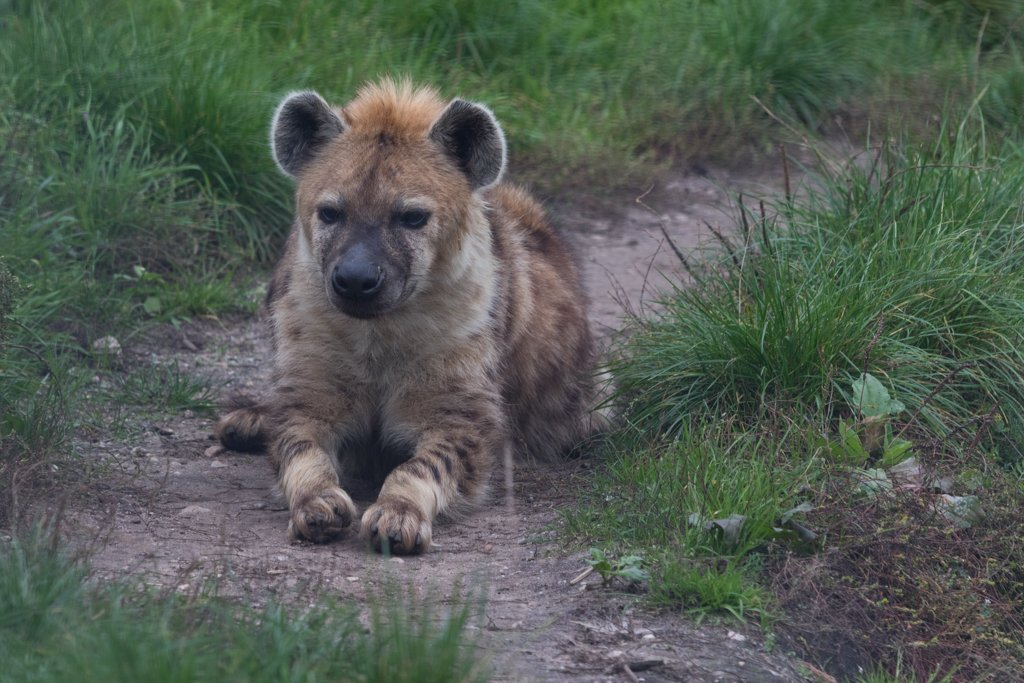 I Spotted a Hyena by leonbuys83