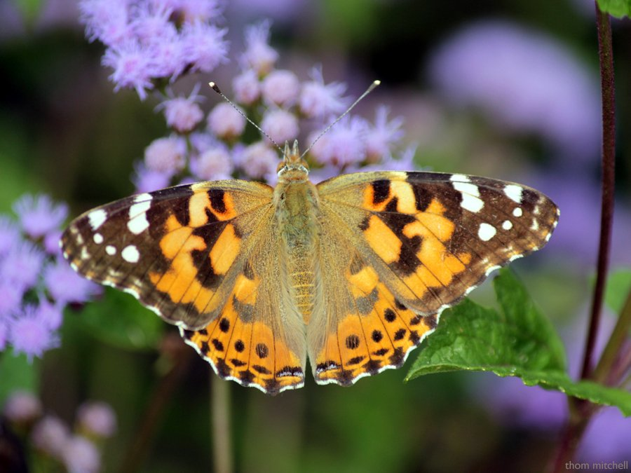 """""""Painted Lady"""" by rhoing"""