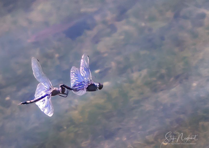 Monet's Dragonfly Lovers by stefneyhart