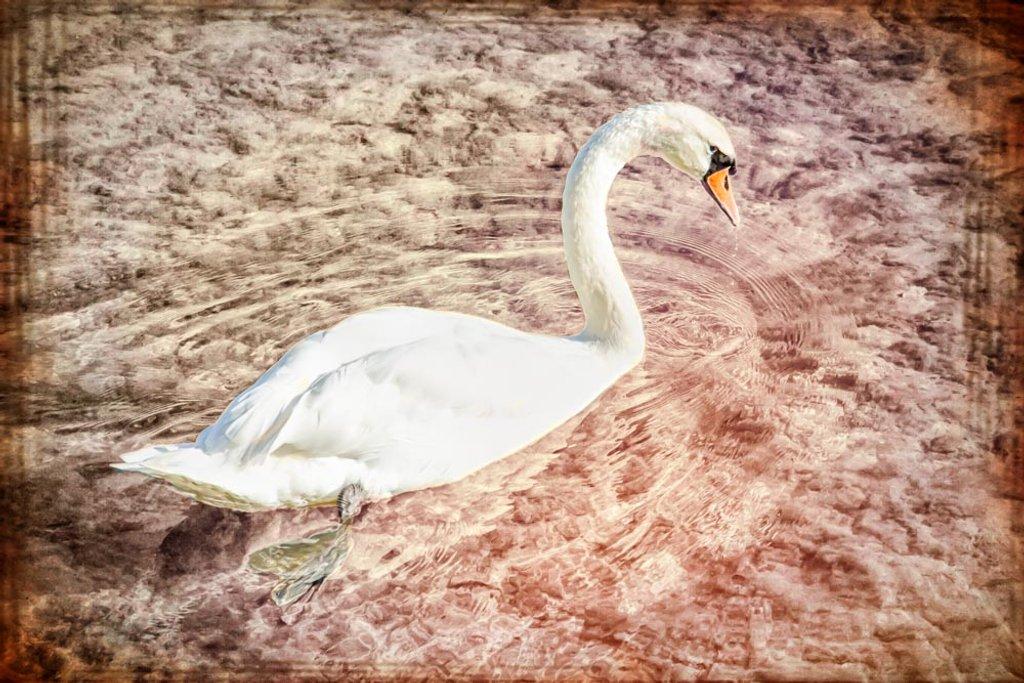 Swan by pamknowler
