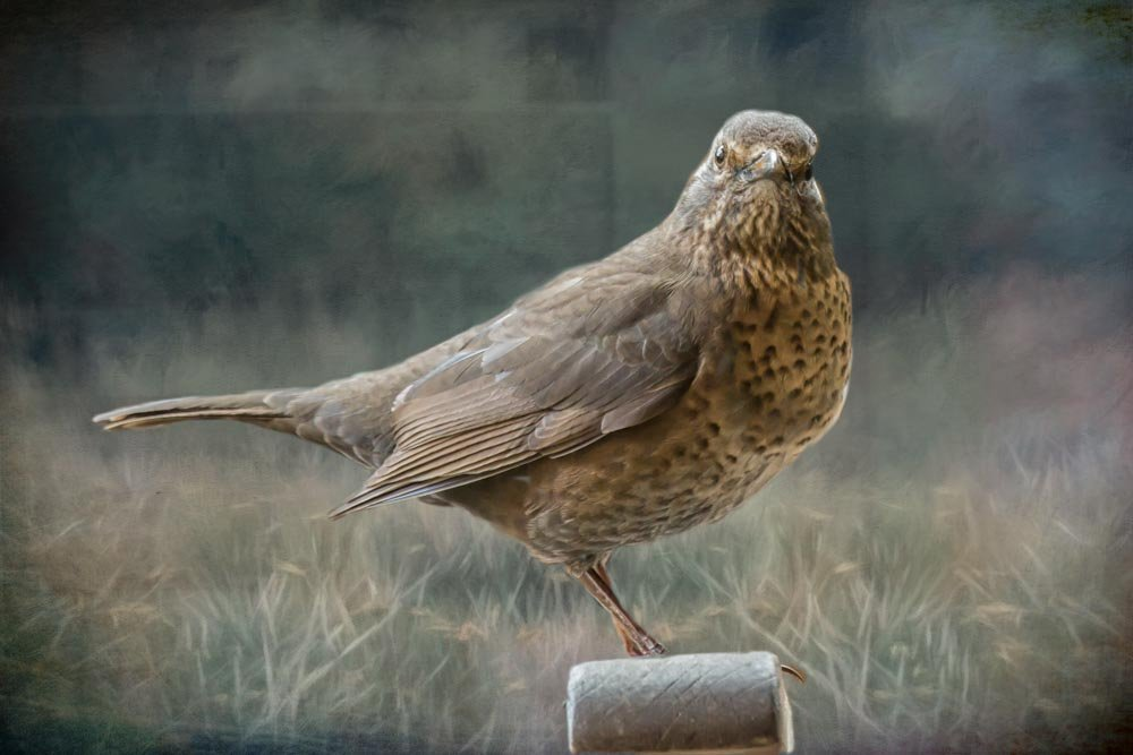 Mrs Blackbird by pamknowler