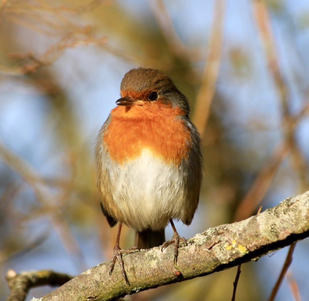 Robin by chris17