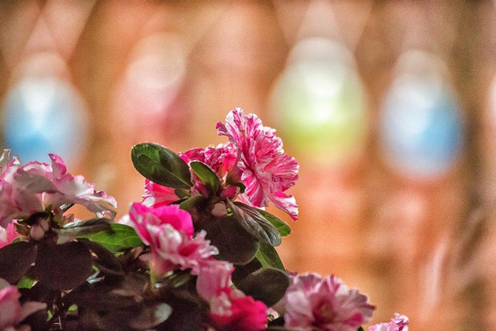 Bargain azalea by pamknowler