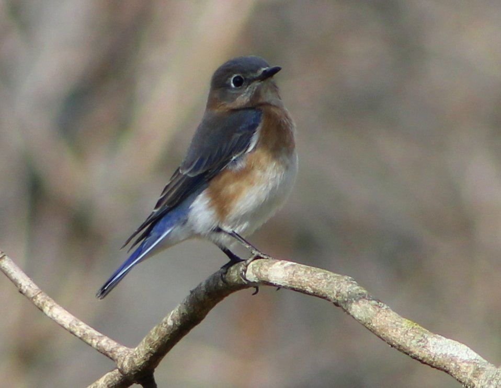 Bluebird by cjwhite