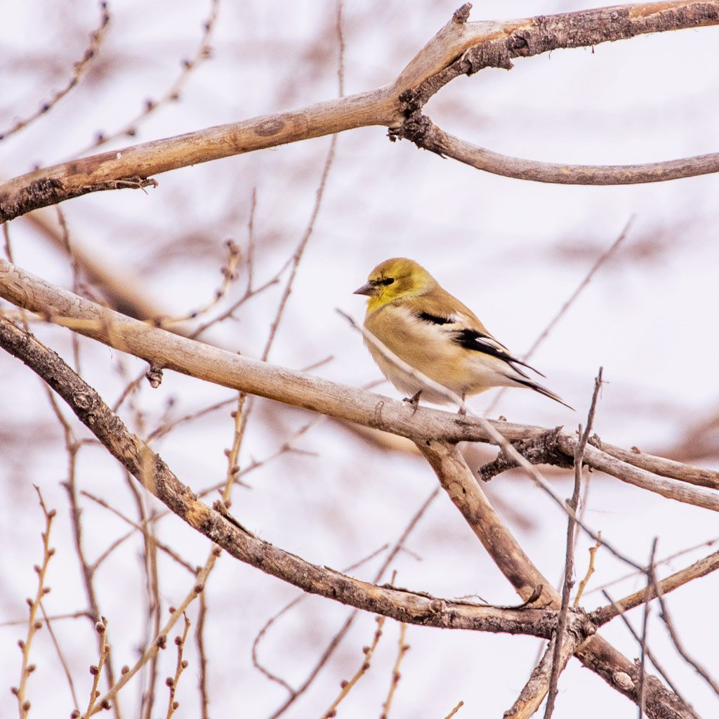winter goldfinch by aecasey