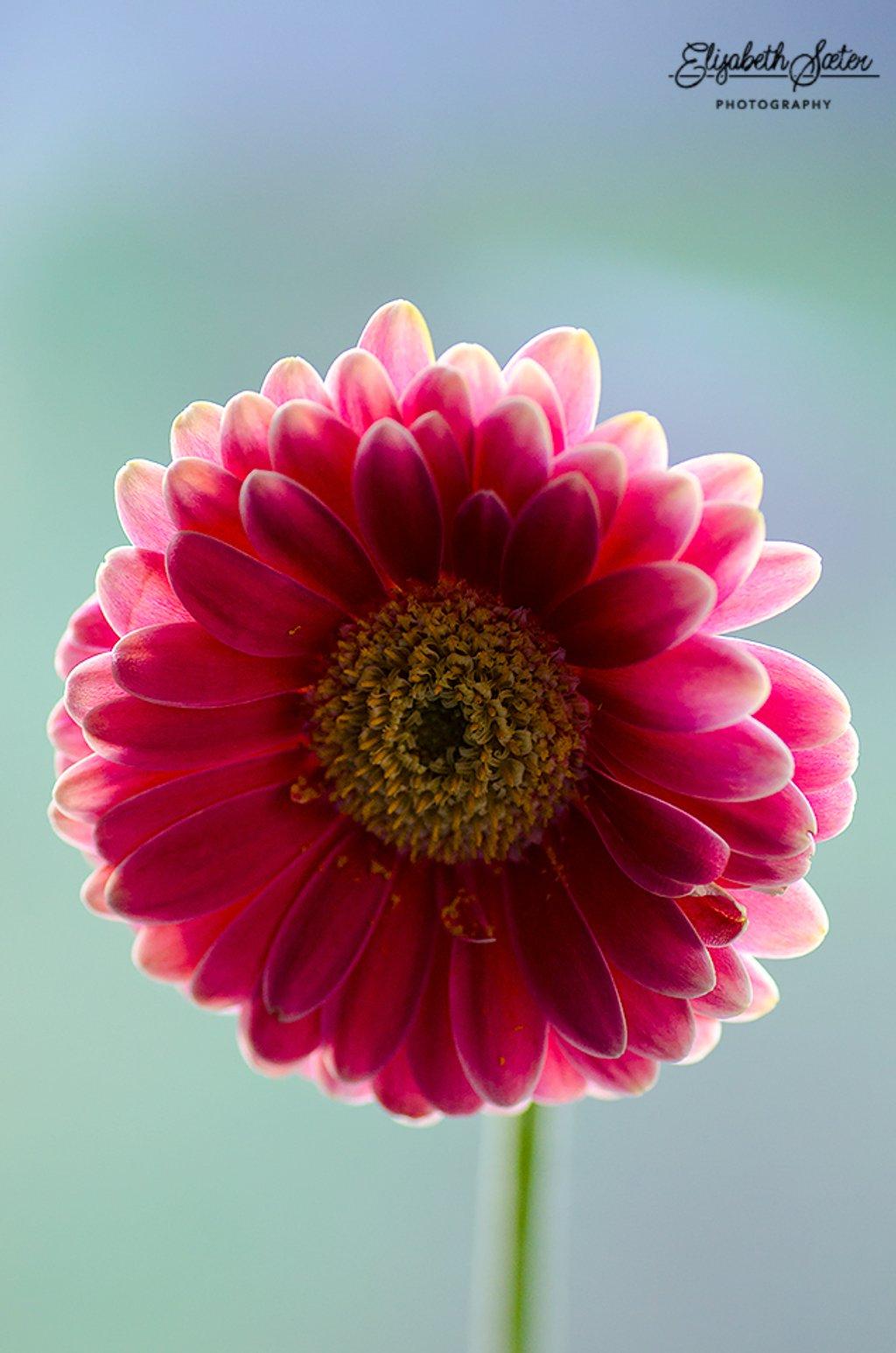 Pink Germini by elisasaeter
