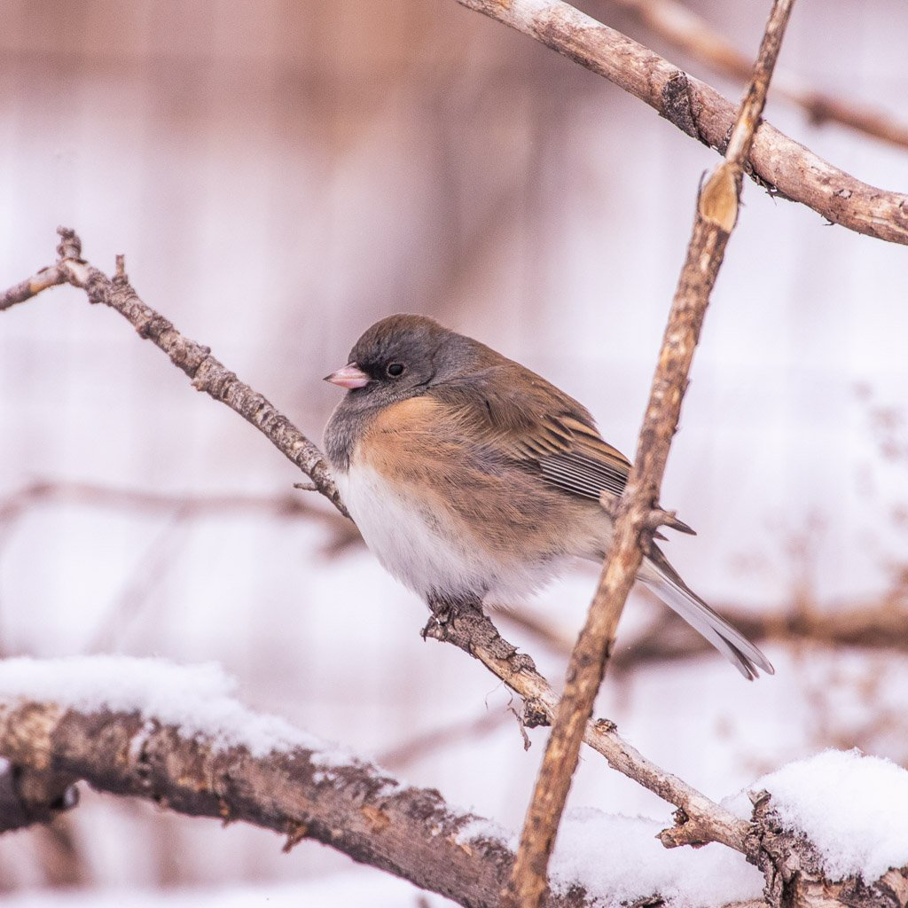junco by aecasey