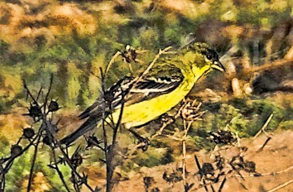 Yellow Bird and Thorns by joysfocus