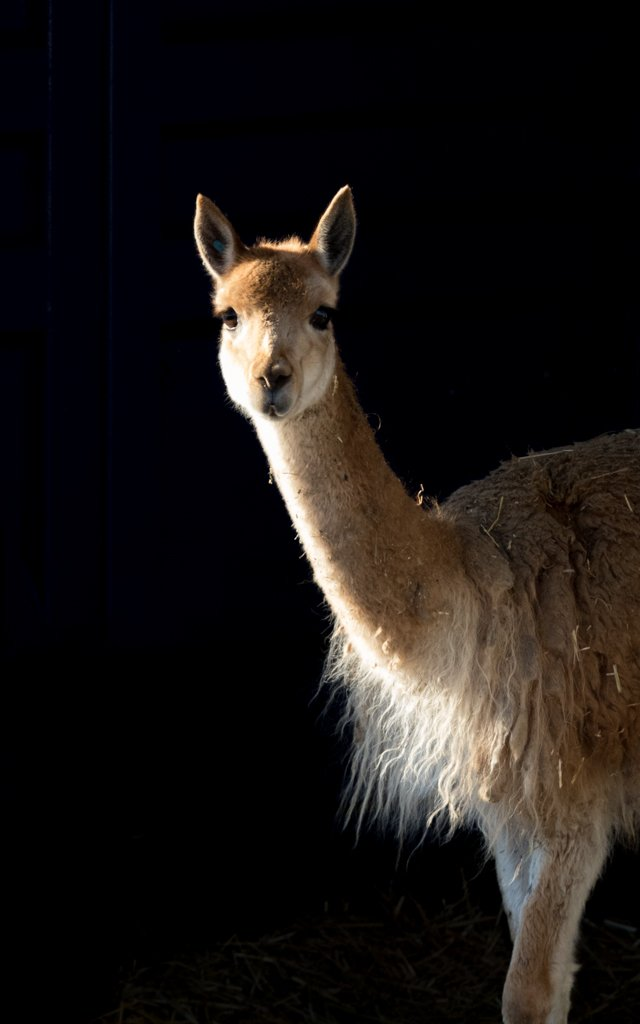 Vicuña by leonbuys83