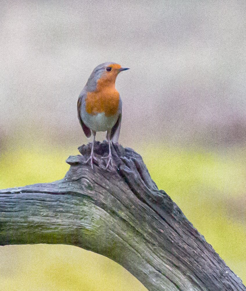 Robin by pamknowler