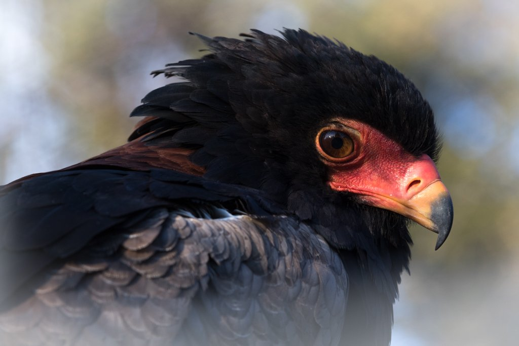 Bateleur by leonbuys83