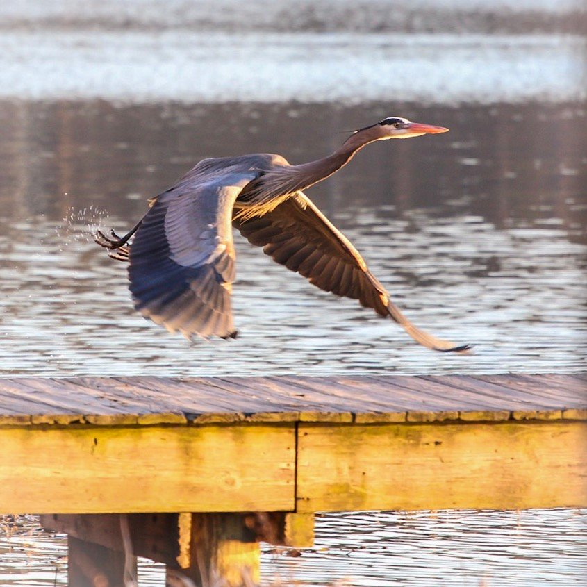 Blue Heron by jnorthington