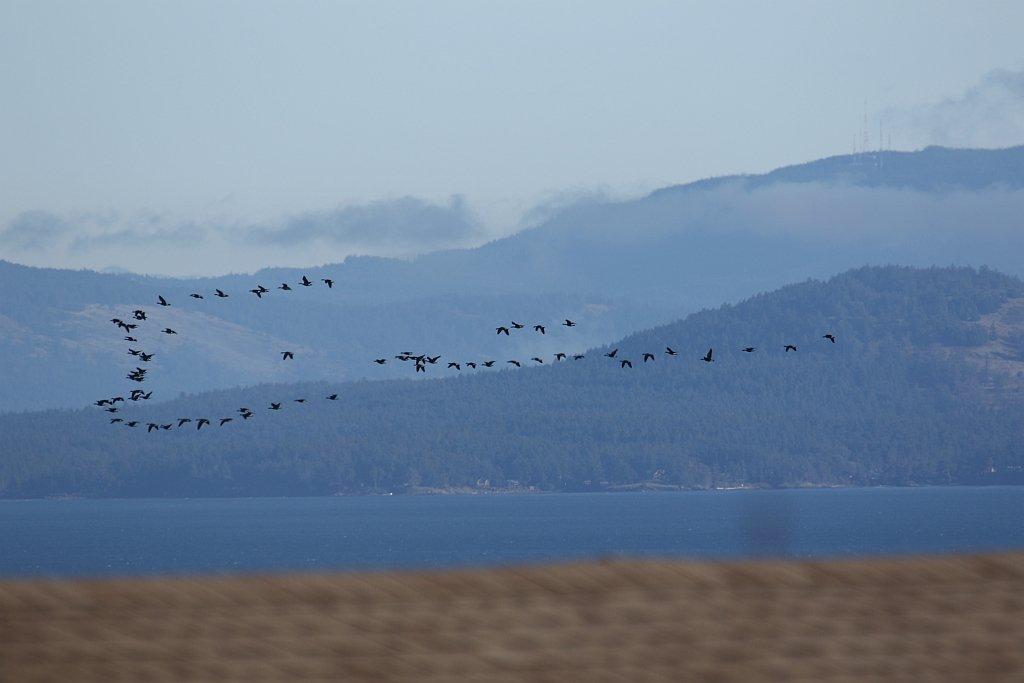 Birds in Flight by kimmer50