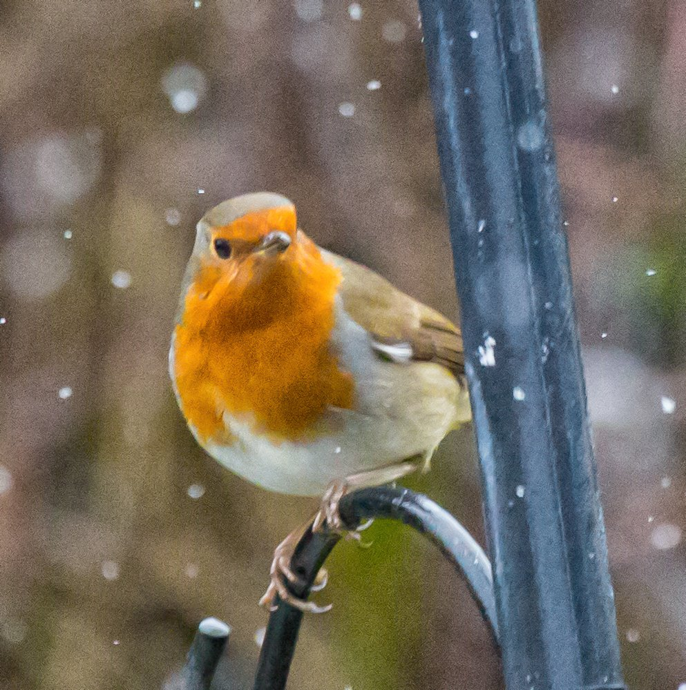 Robin in the snow by pamknowler