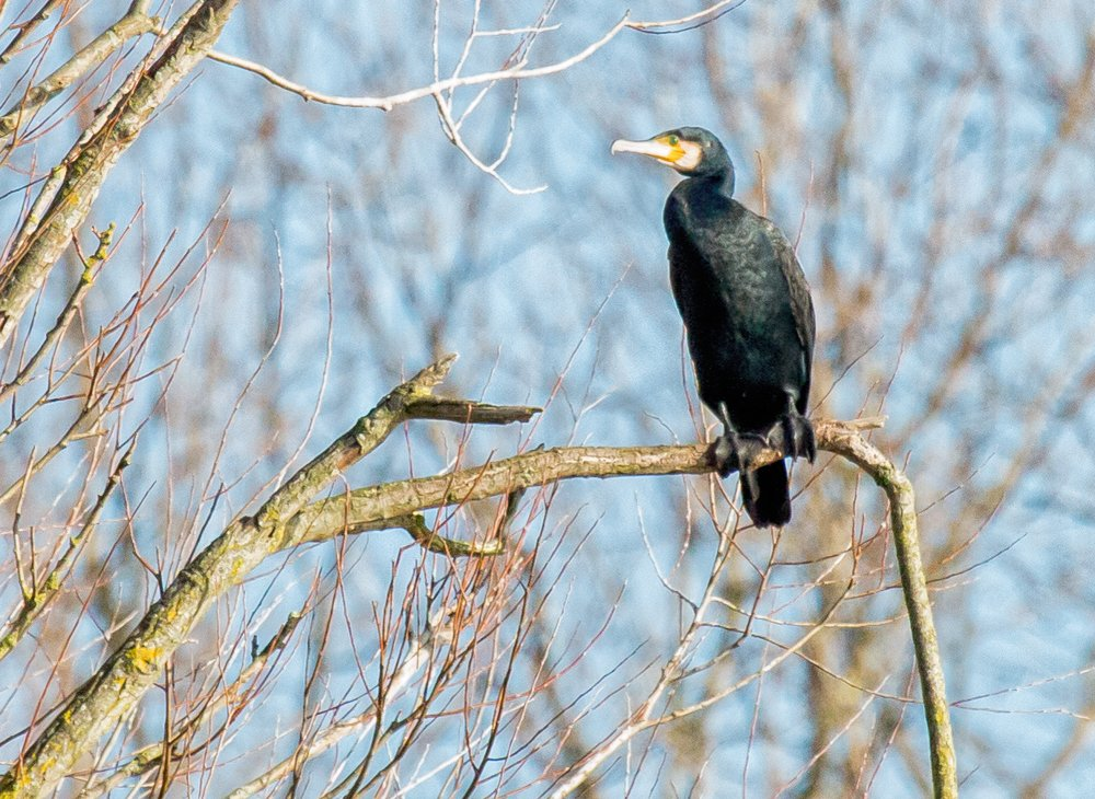 Cormorant in a tree by pamknowler