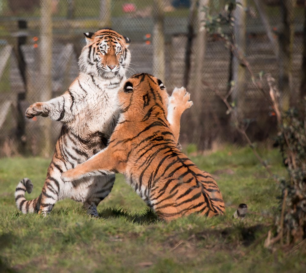 Tigers playing by pamknowler