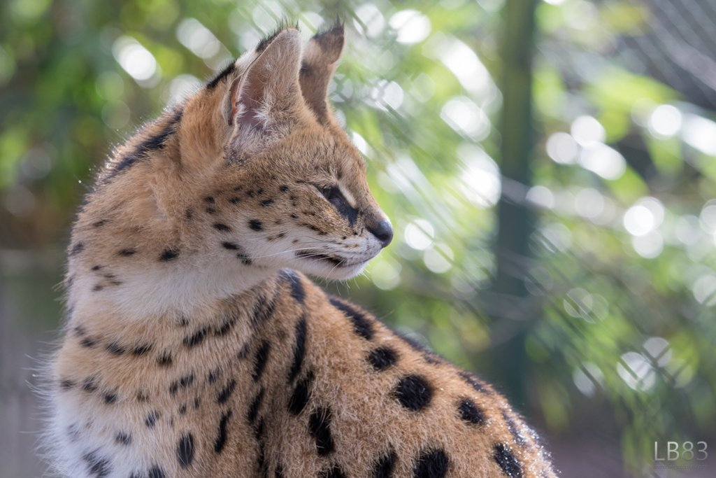 Serval by leonbuys83