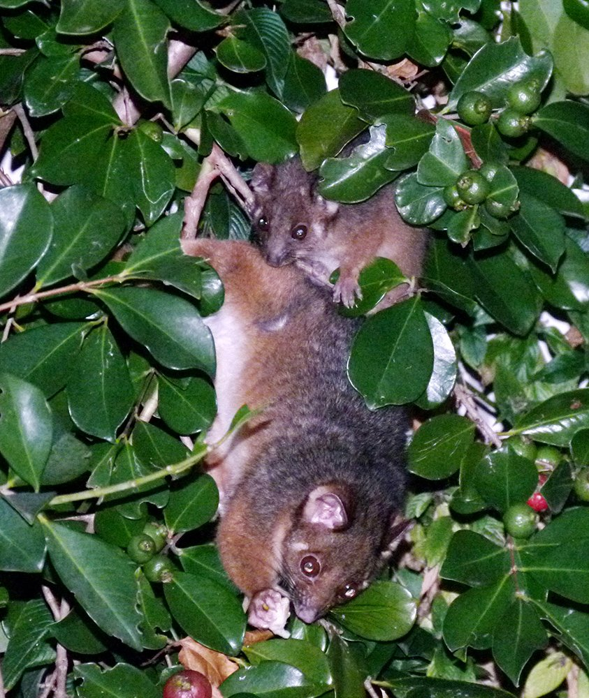 Mother and Baby Ringtail Possums  by onewing