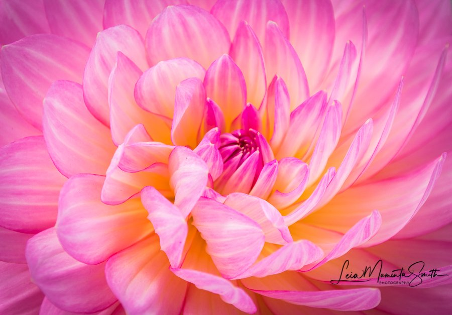 My favorite dahlia by princessleia