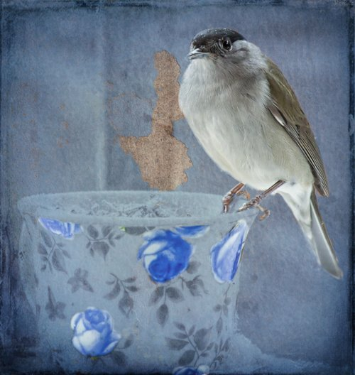 Blackcap came to tea by pamknowler