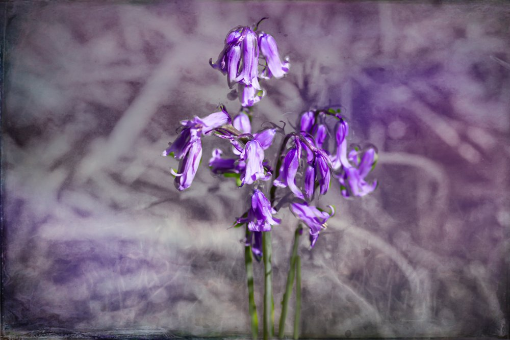 Purple Bells by pamknowler