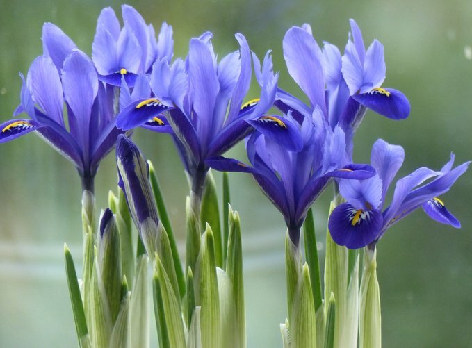 Miniature Iris by foxes37