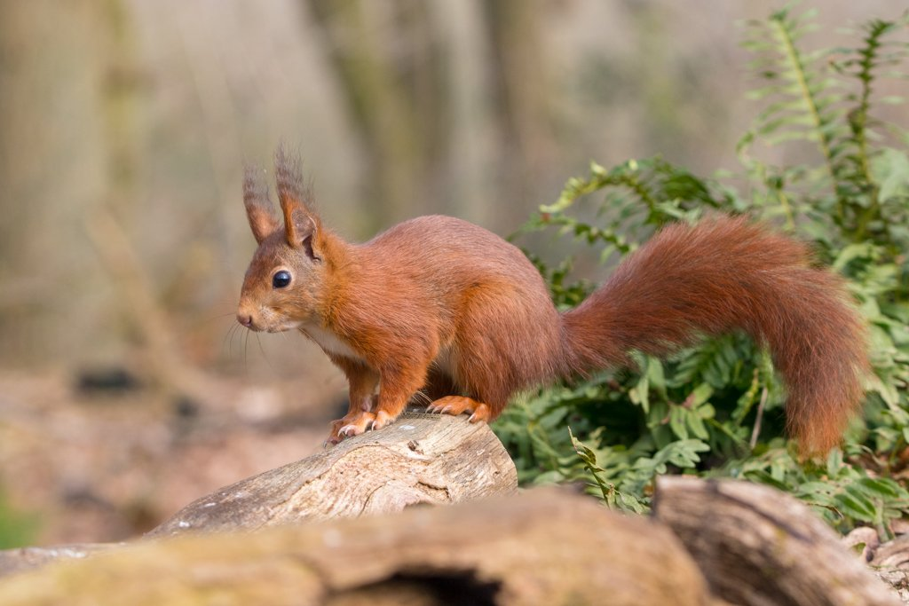 Red Squirrel by leonbuys83