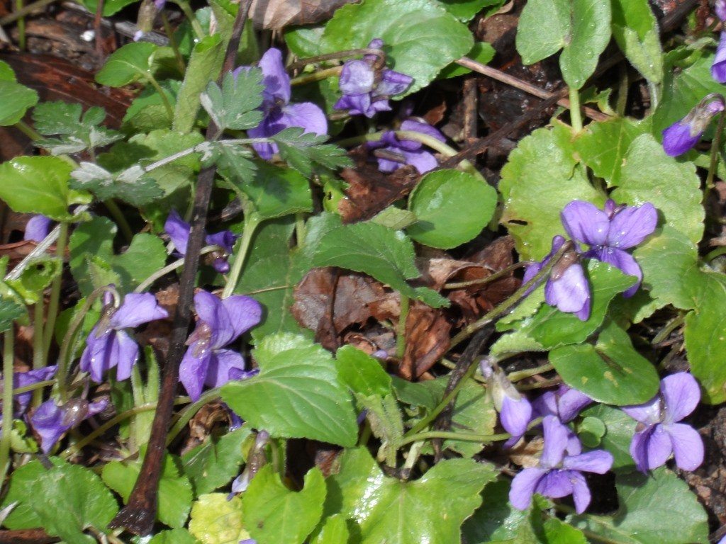Stream-side Violets by will_wooderson