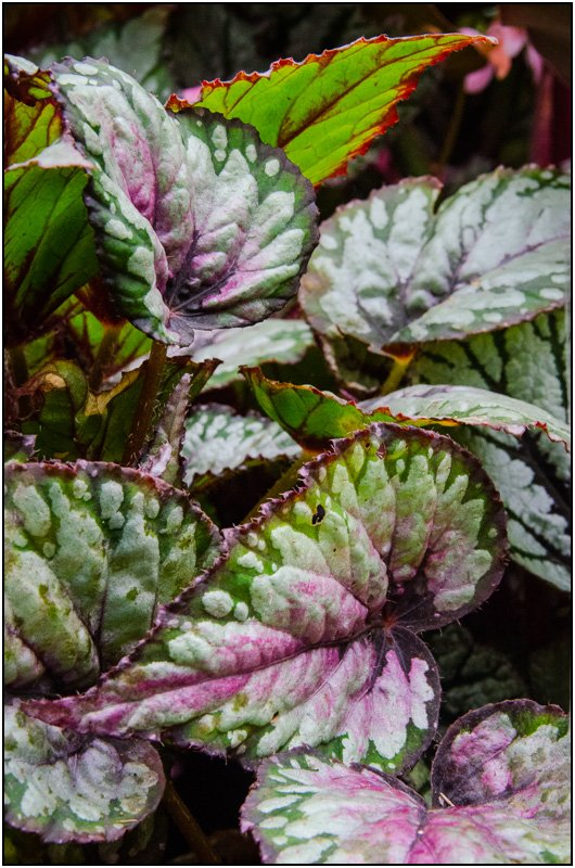 Begonia Leaves by chikadnz