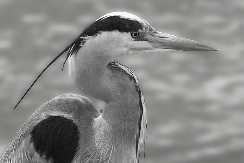 Grey Heron at the weir by helenhall