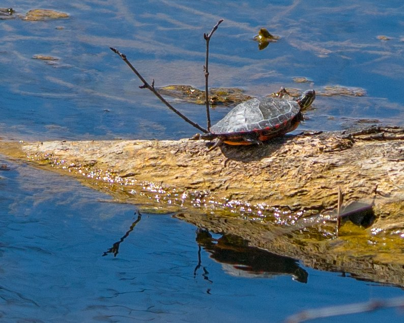 Painted Turtle with Reflection by rminer