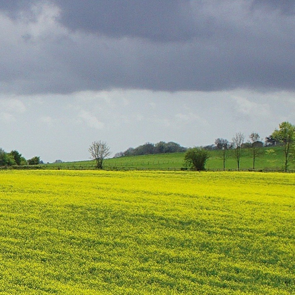 yellow field and blue sky by quietpurplehaze